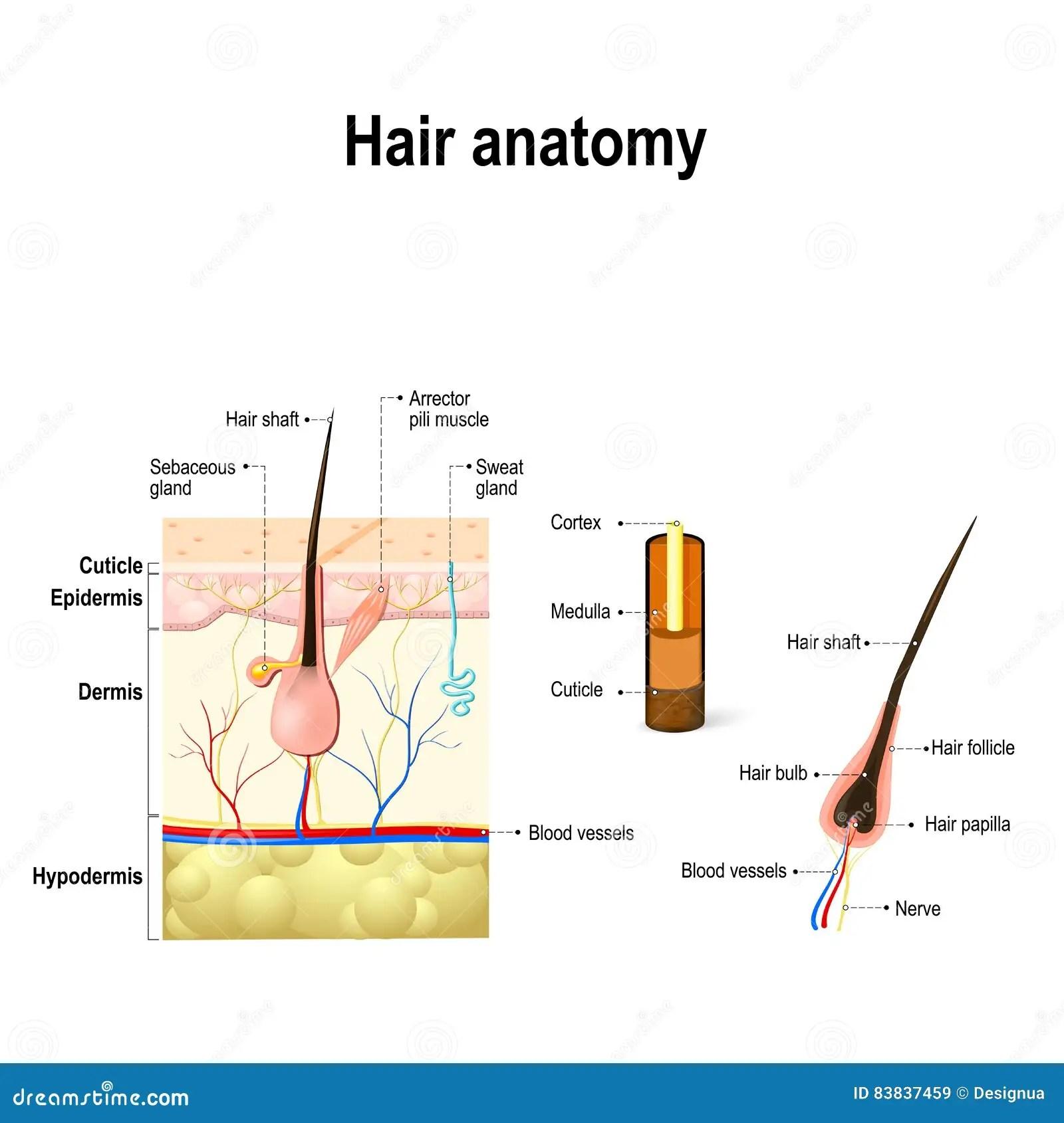 Diagram Hair Medulla