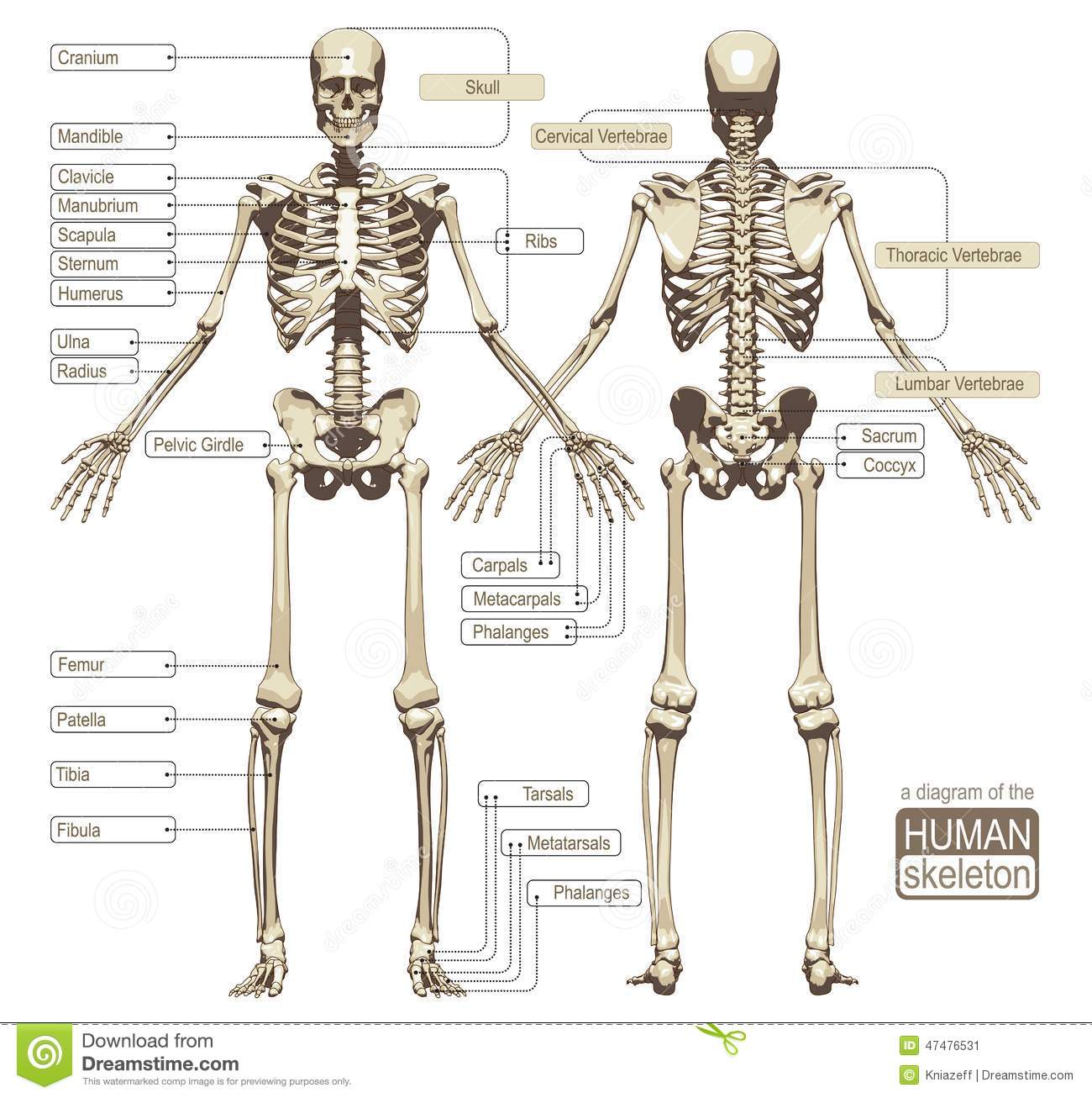 A Diagram Of The Human Skeleton Stock Vector