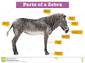 Diagram Showing Different Parts Of Zebra Stock Vector