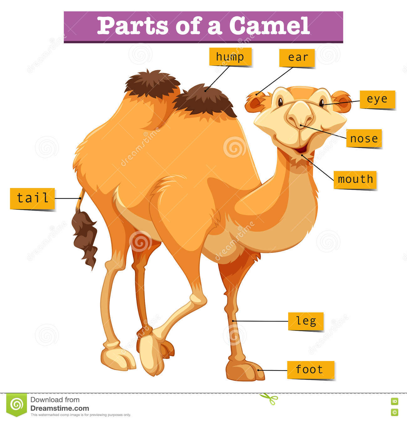 Diagram Showing Parts Of Camel Stock Vector