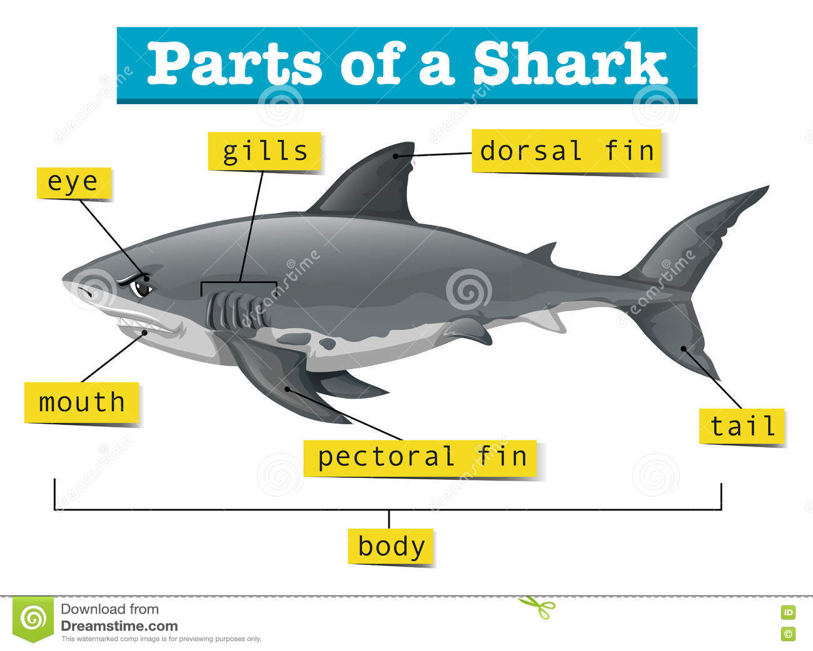 Diagram Showing Parts Of Shark Stock Vector