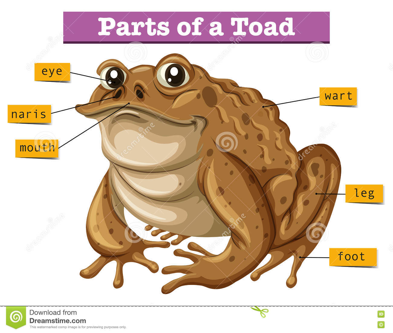 Diagram Showing Parts Of Toad Vector Illustration