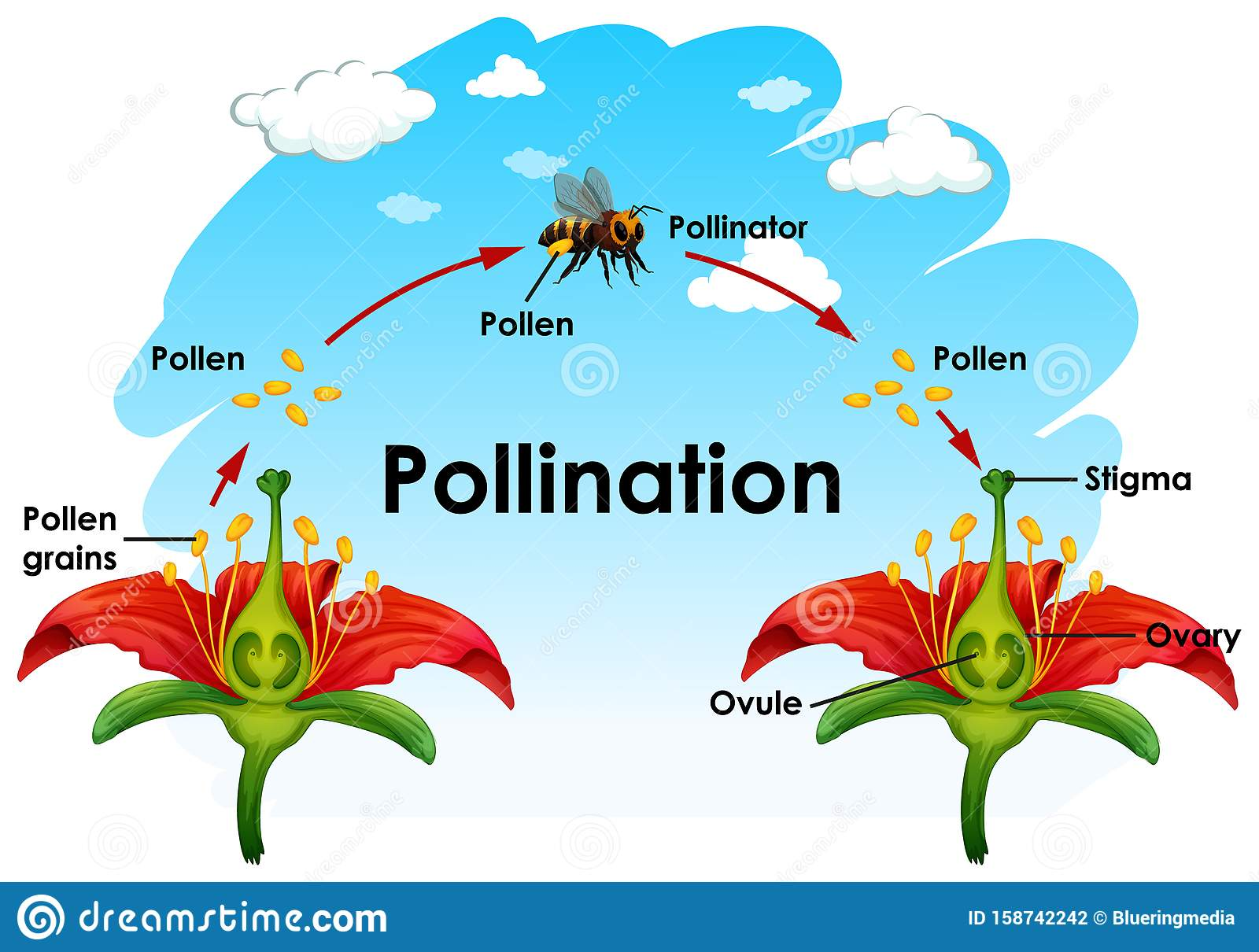 Diagram Showing Pollination With Flower And Bee Stock