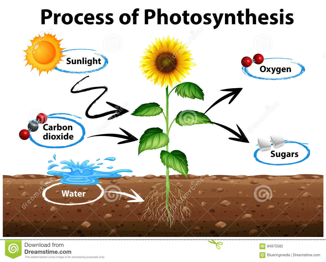 Diagram Showing Sunflower And Process Of Photosynthesis Stock Vector