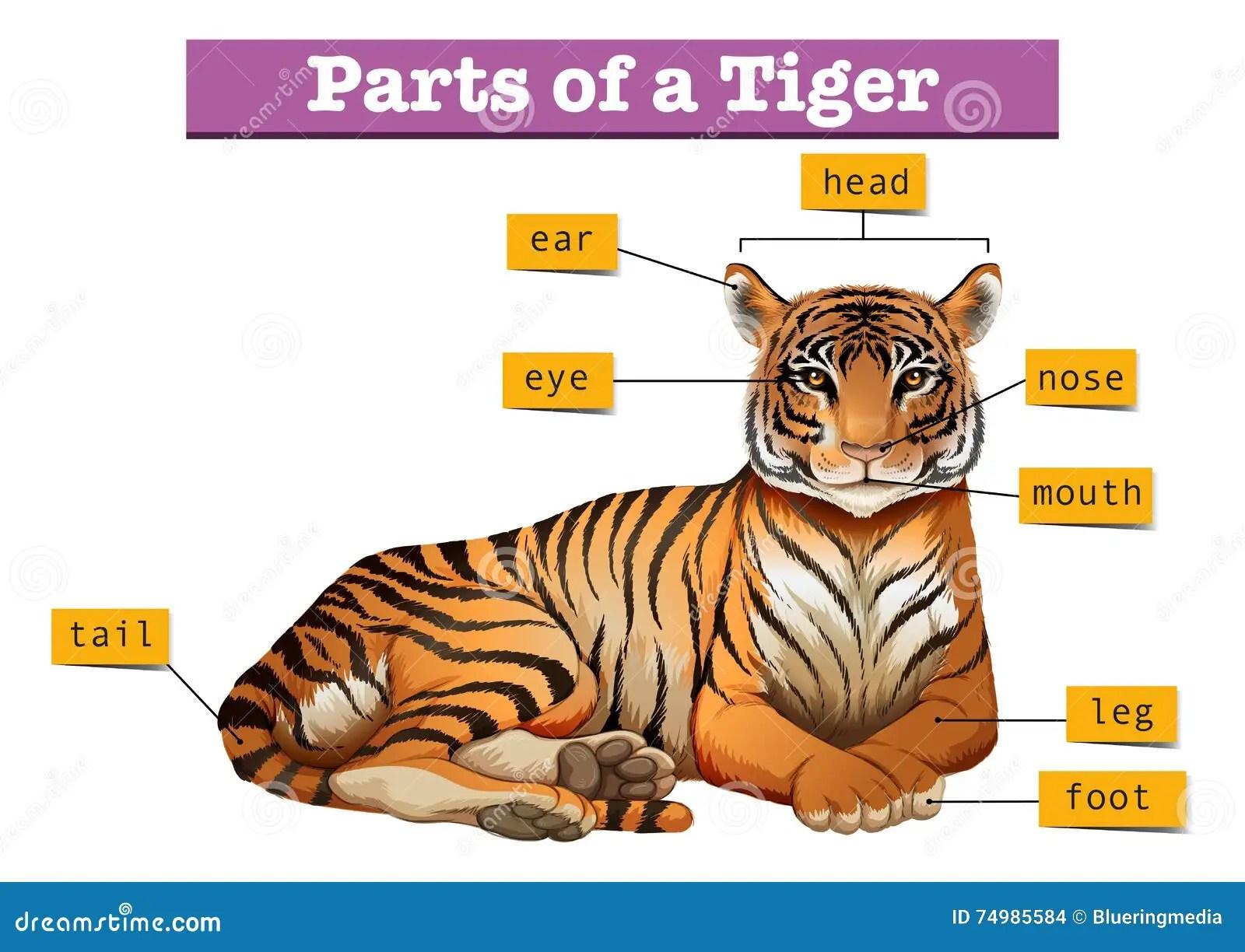 Diagramm Das Teile Des Tigers Zeigt Vektor Abbildung