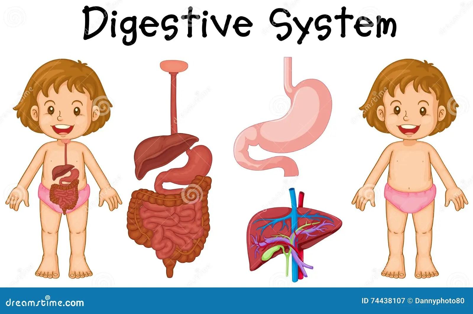 Diagramme De Fille Et D Appareil Digestif Illustration De