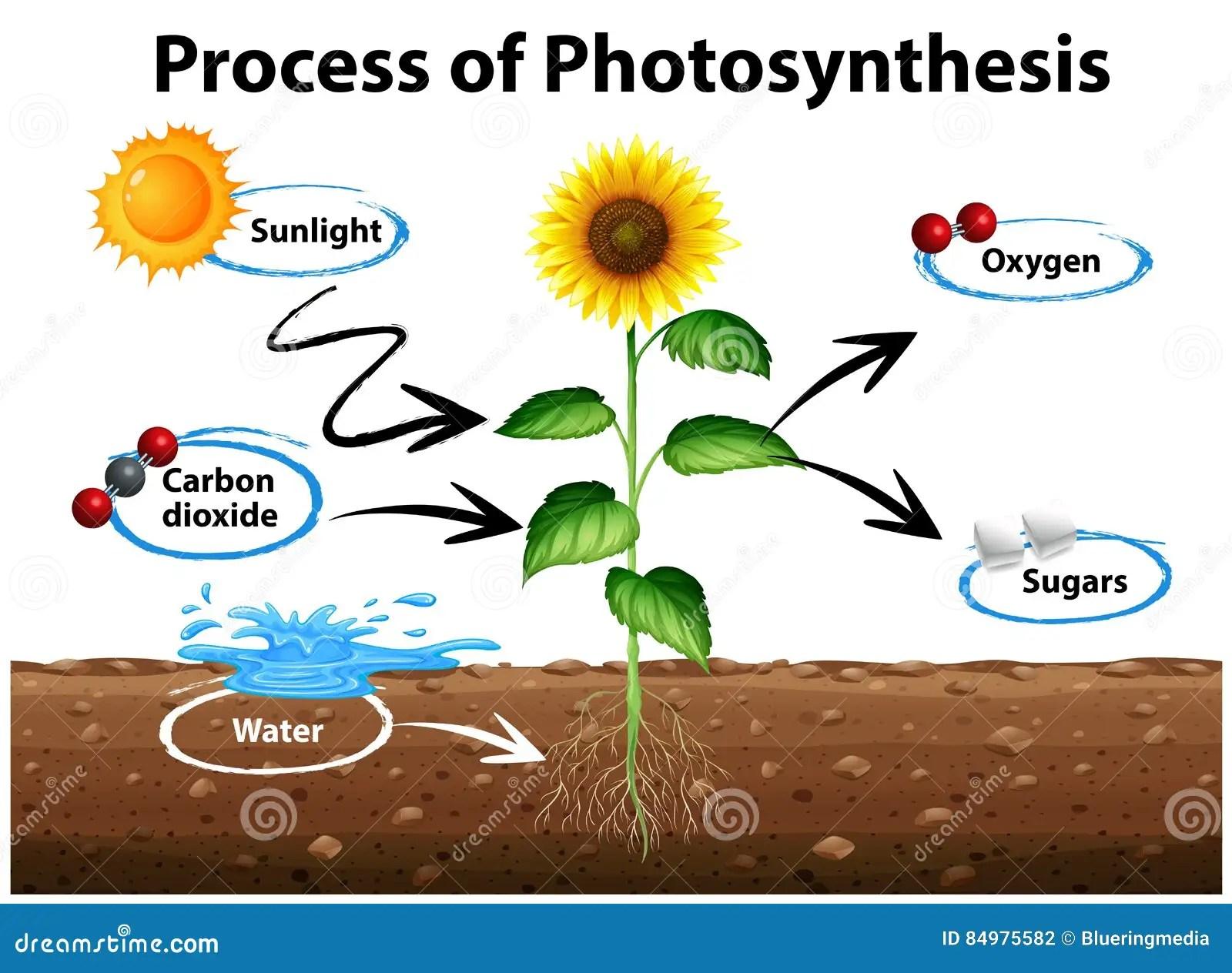 Diagramvisningsolros Och Process Av Fotosyntes Vektor