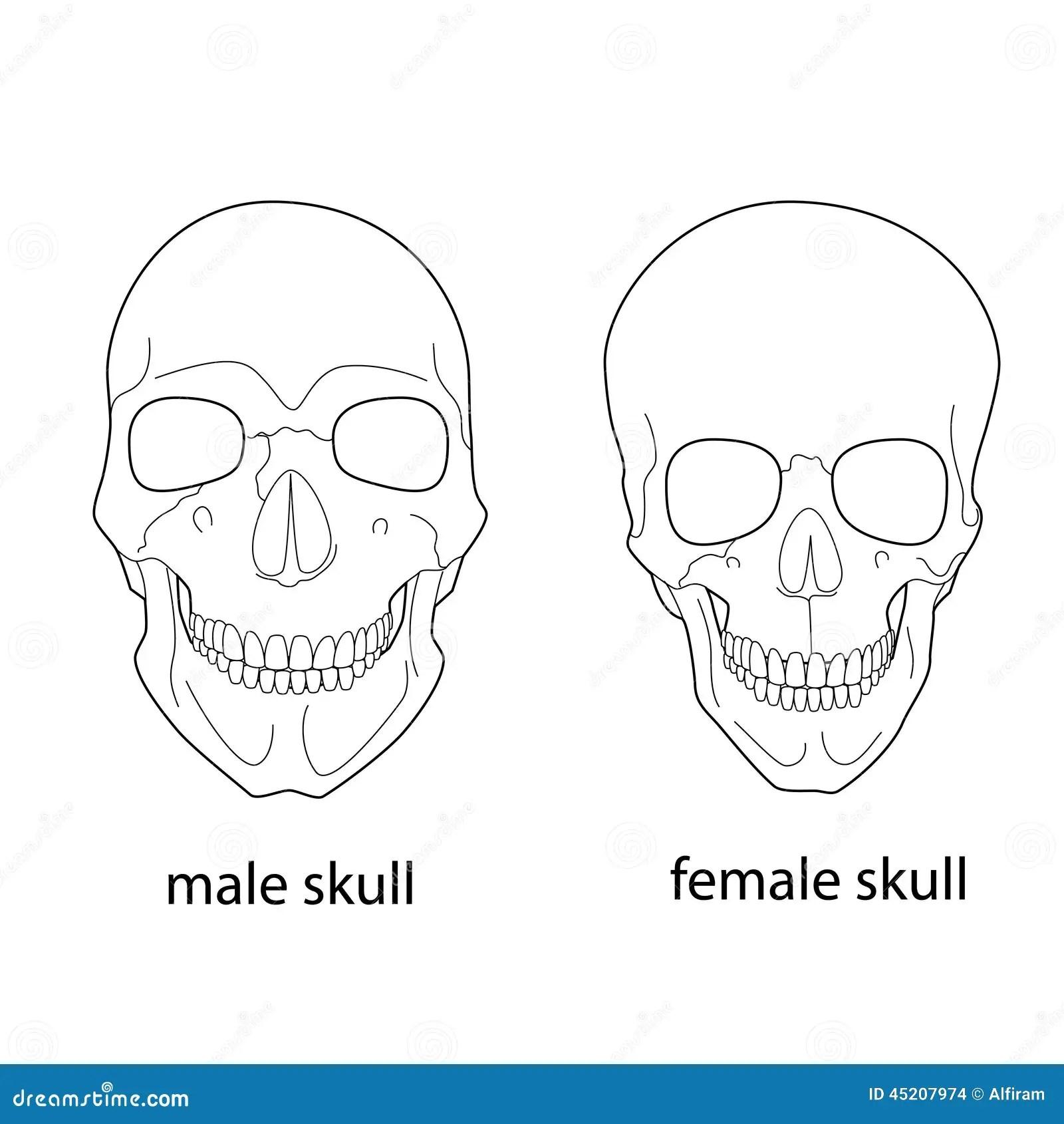 Differences Du Crane Masculin Et Femelle Illustration De