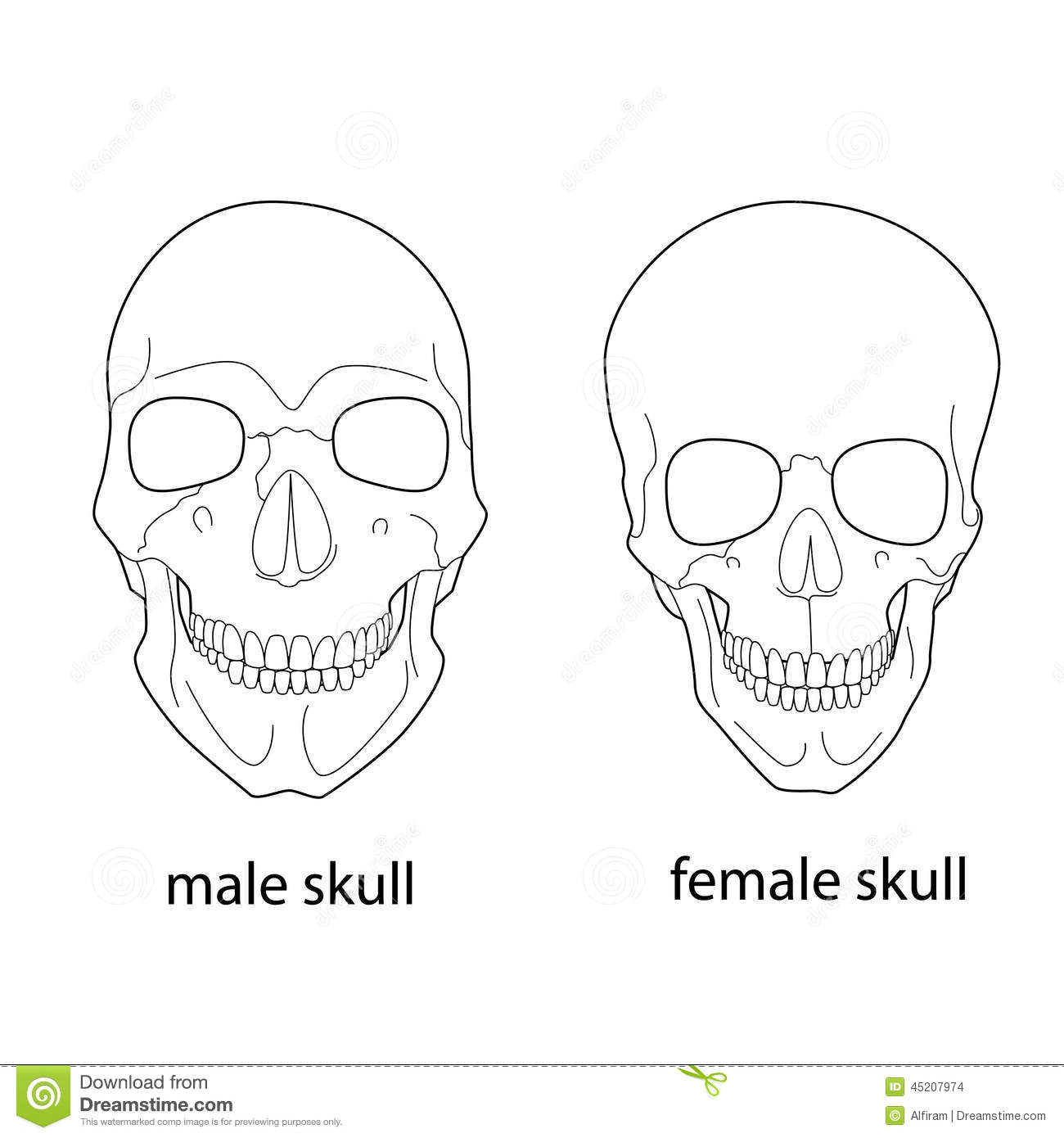 Differences Of Male And Female Skull Stock Vector
