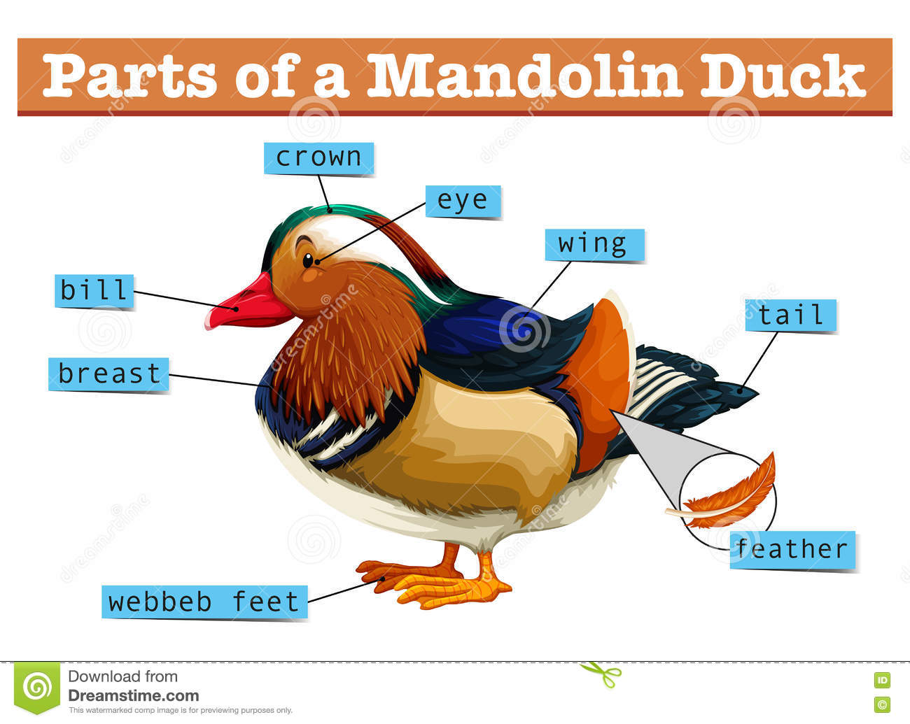 Different Parts Of Mandolin Duck Stock Vector