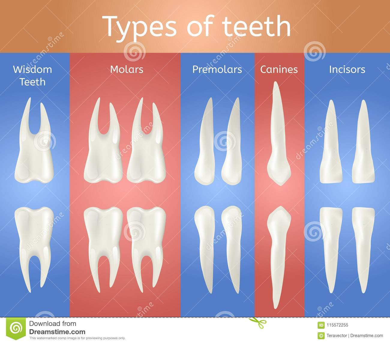 Different Type Of Tooth 3d Realistic Poster Stock Vector