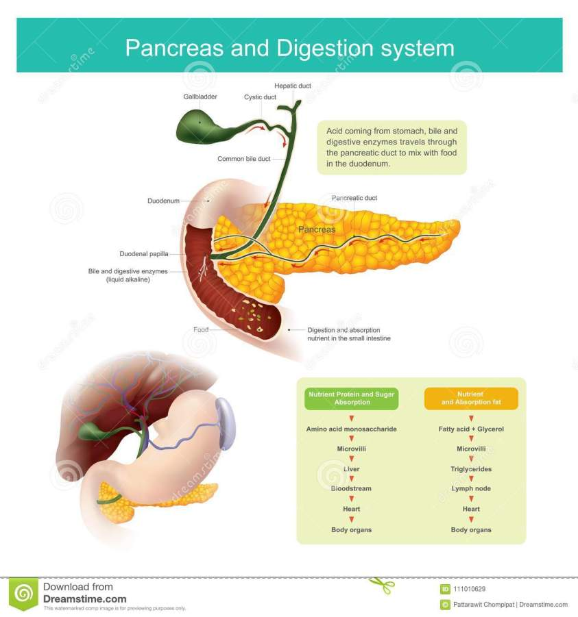 The Digestive Enzymes Travels Through The Pancreatic Duct ...