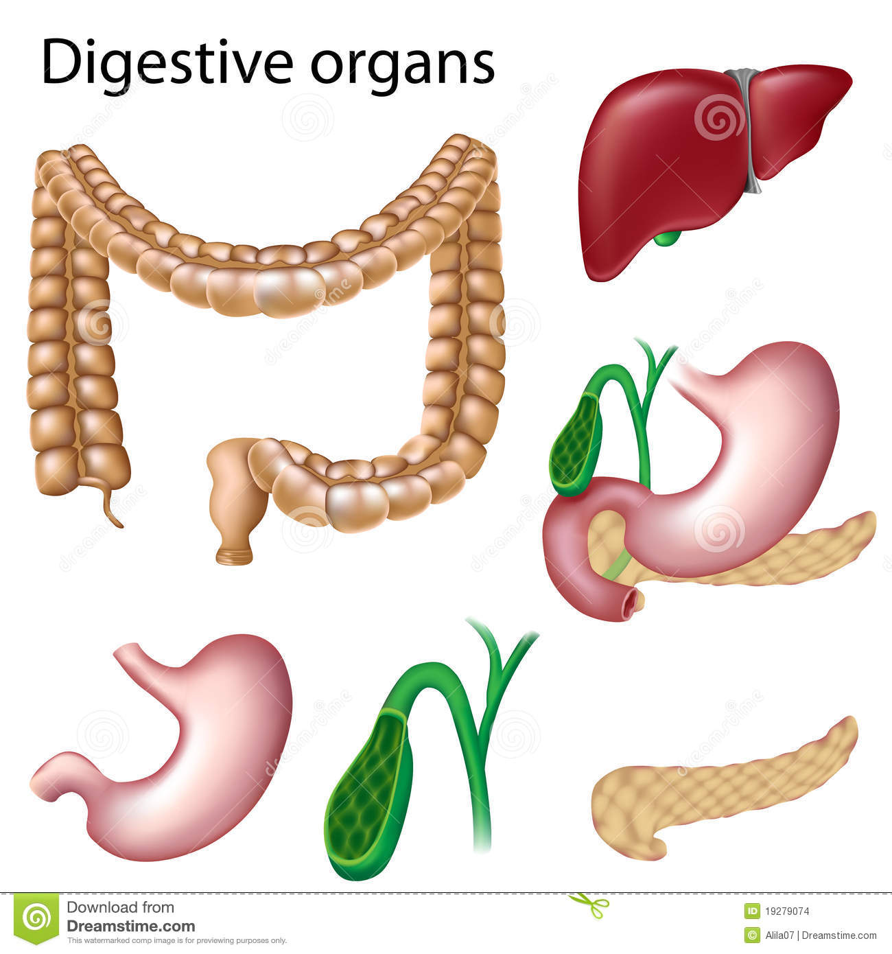 Digestive Organs Isolated Stock Vector Image Of Diagram