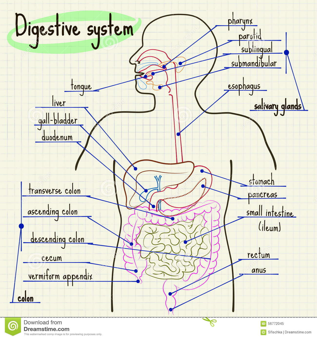 Digestive System Of Man Stock Vector Illustration Of Square
