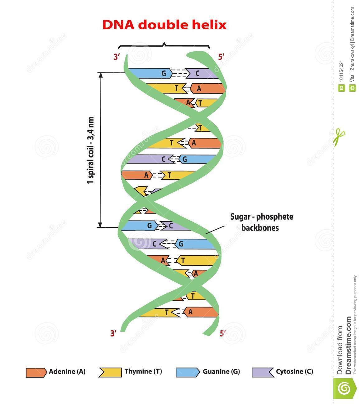 Dna Structure Double Helix On White Background Nucleotide