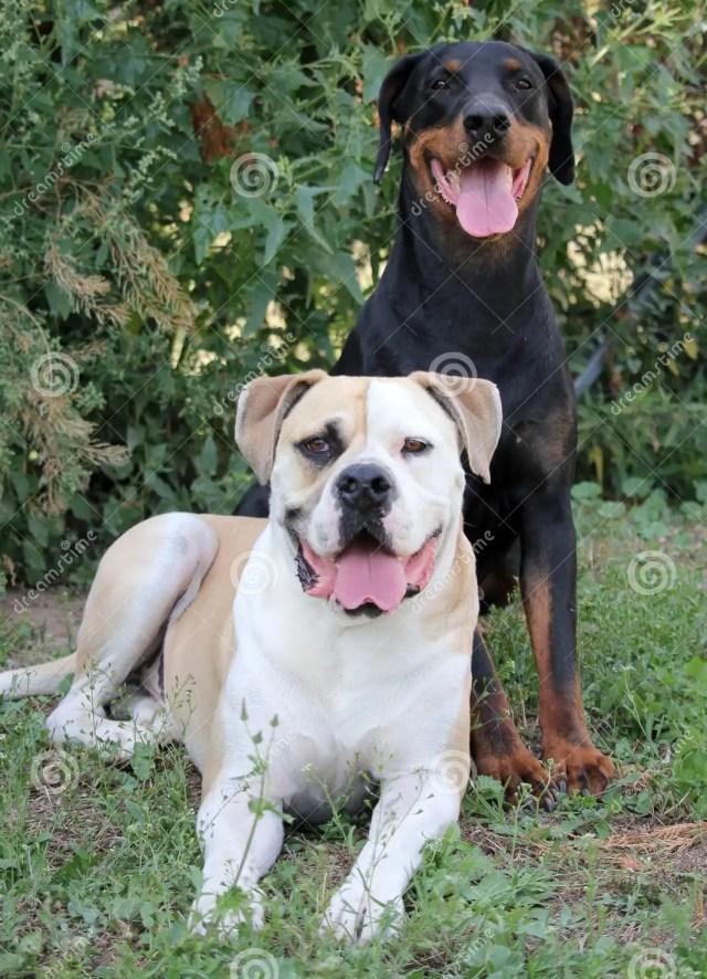 doberman and american bulldog stock image - image of head