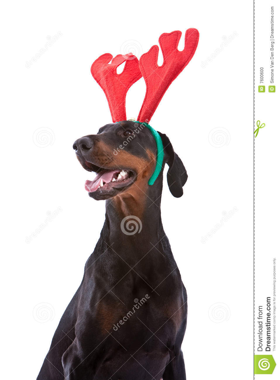 Doberman Christmas Stock Photo Image 7600600