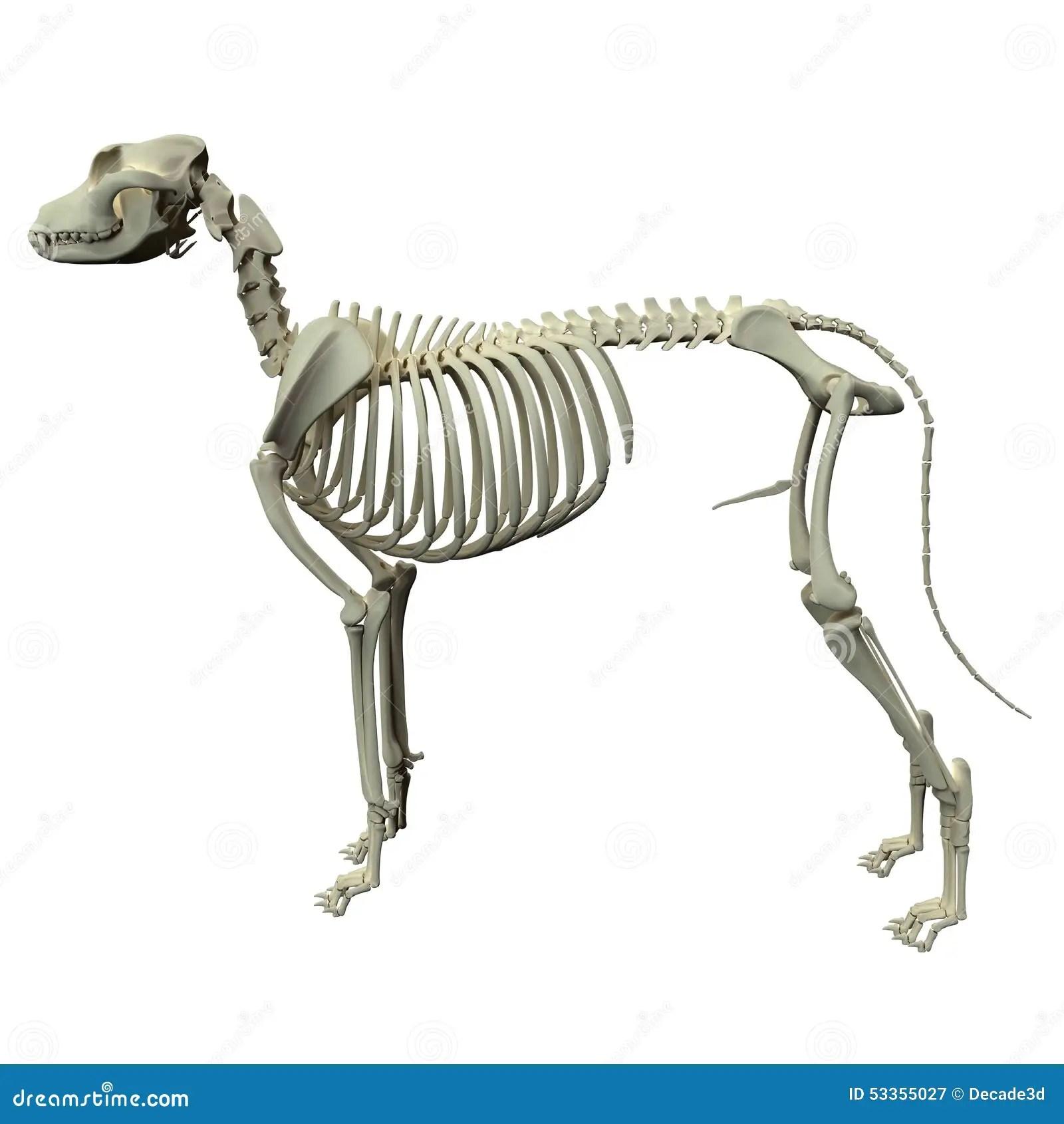 Dog Hind Legs Of A Skeleton