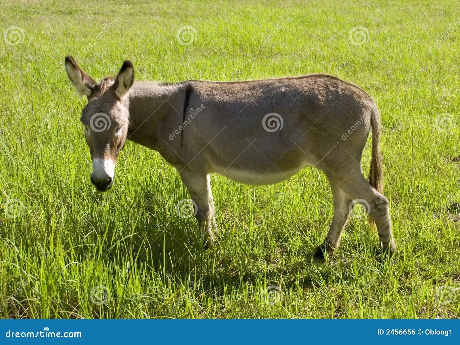Donkey Eating Grass Royalty Free Stock Image Image 2456656
