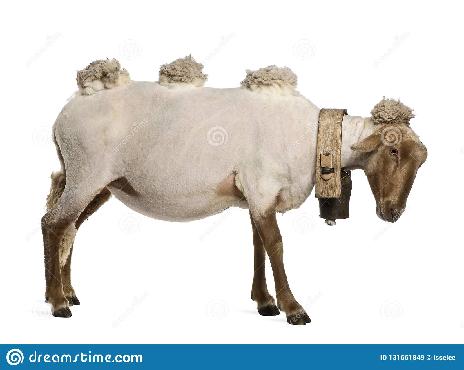 Side View Of Mourerou Sheep Wearing Bell In Front Of White
