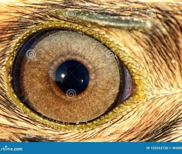 Eagle Eye Close Up Eye Of The Buzzard
