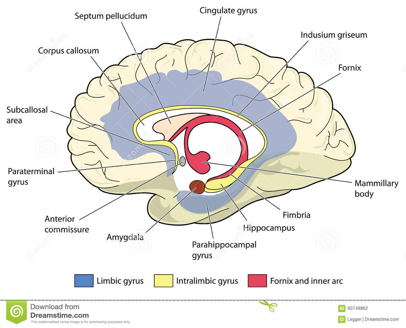Perfect Anatomy Corpus Callosum Image Collection - Anatomy and ...