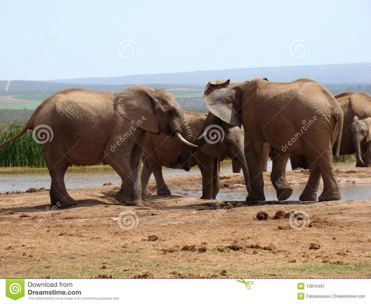 large african bull elephant royalty free stock photos - image