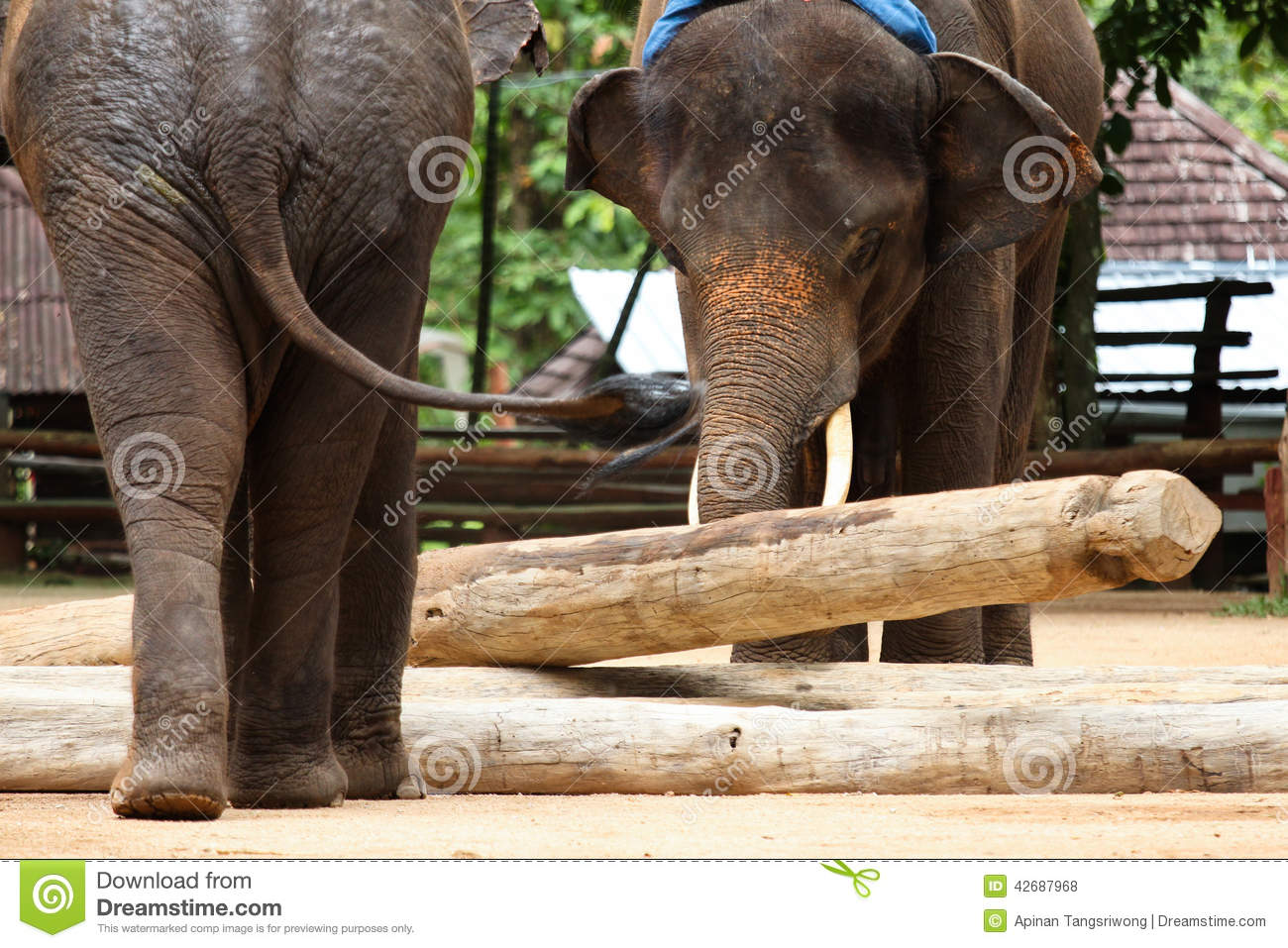 Elephant Working Stock Photo Image Of Chiang Stack