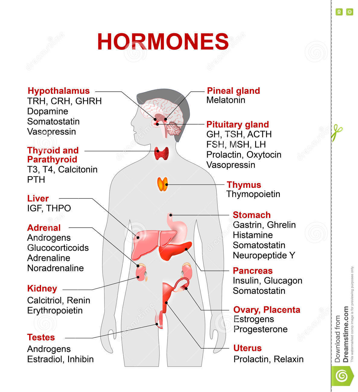 Endocrine System Hormones Worksheet