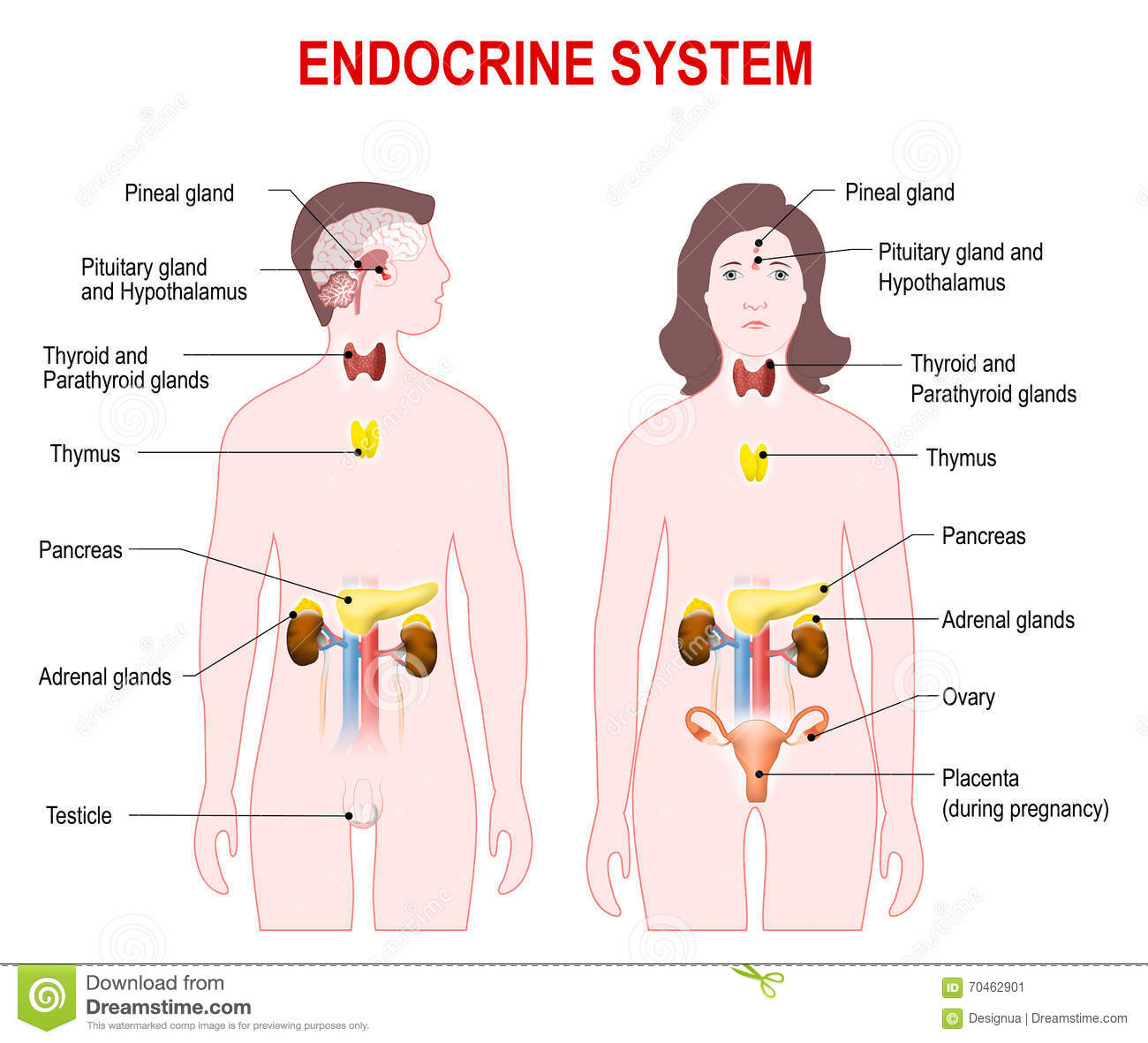 Endocrine System Stock Vector Illustration Of Parathyroid