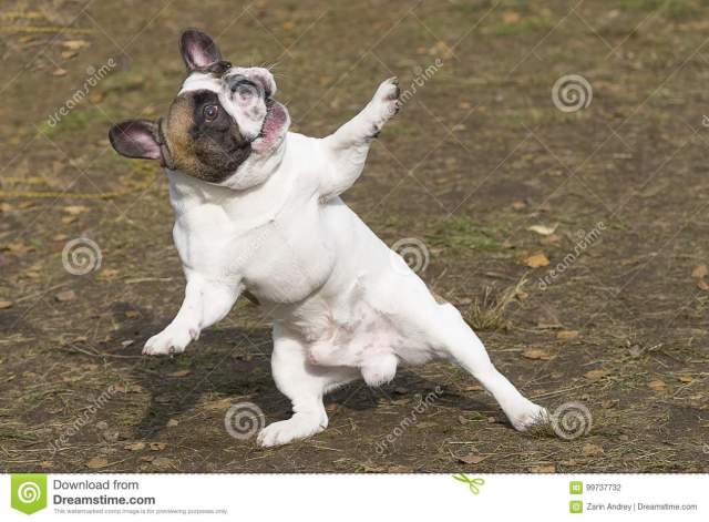 English Bulldog Dancing Dog Humor Stands On Its Hind Legs Spreads Out Its Front Paws Looks Up Against The Background Of A Green Blurred Grass