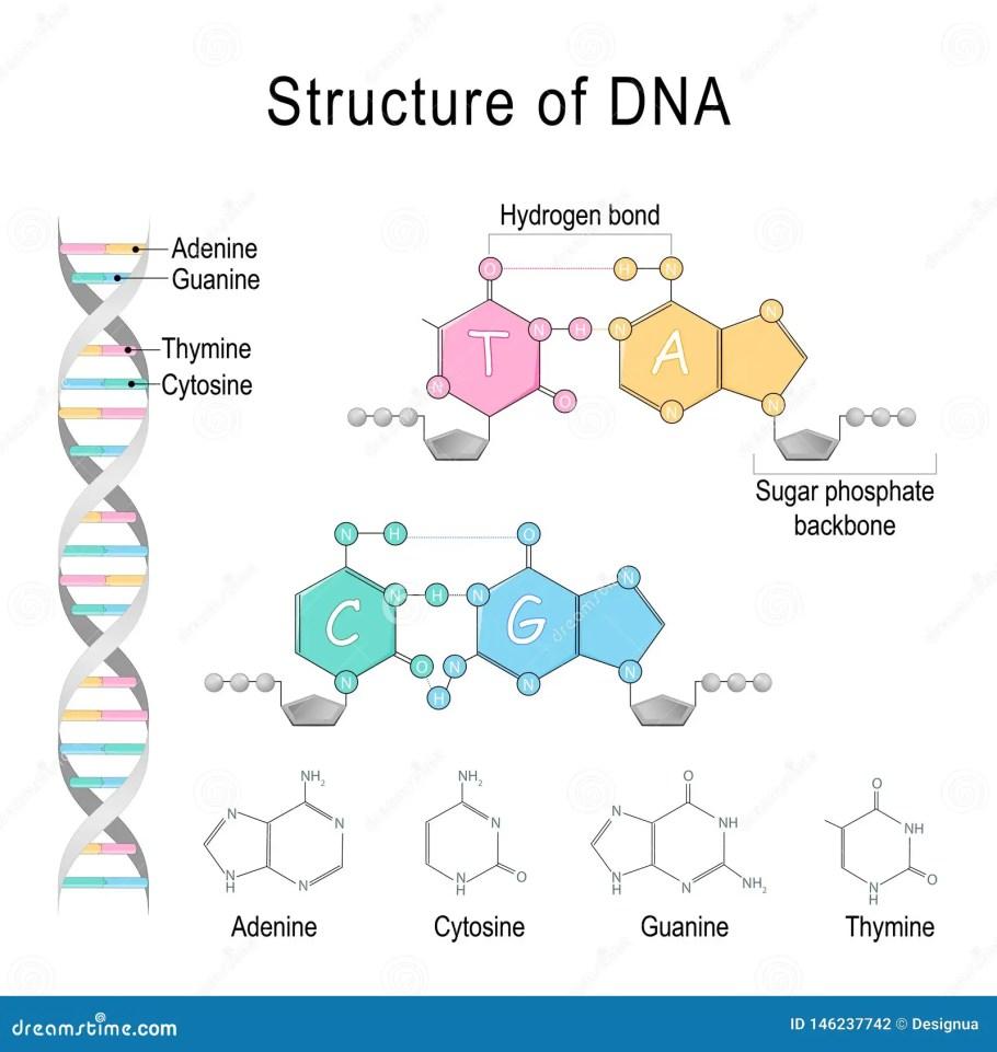 Estrutura Do ADN Phosphatebackbone Da Adenina, Do Cytosine, Do Thymine, Da  Guanina, Do Açúcar, E Ligação De Hidrogênio Ilustração do Vetor -  Ilustração de hélice, pilha: 146237742