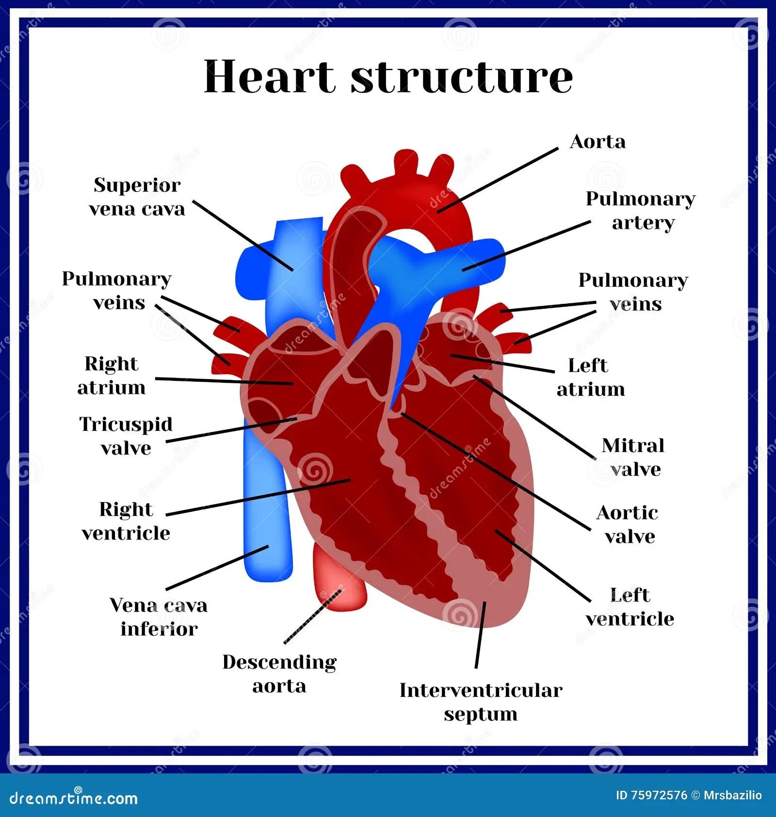 Estrutura Do Coracao O Orgao Do Sistema Circulatorio