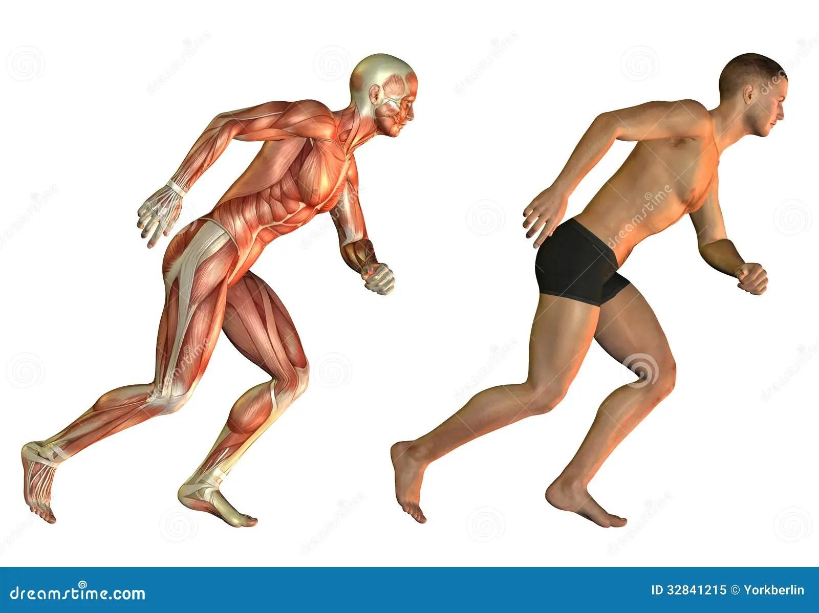 Estudio Corriente De La Anatomia Del Hombre Stock De