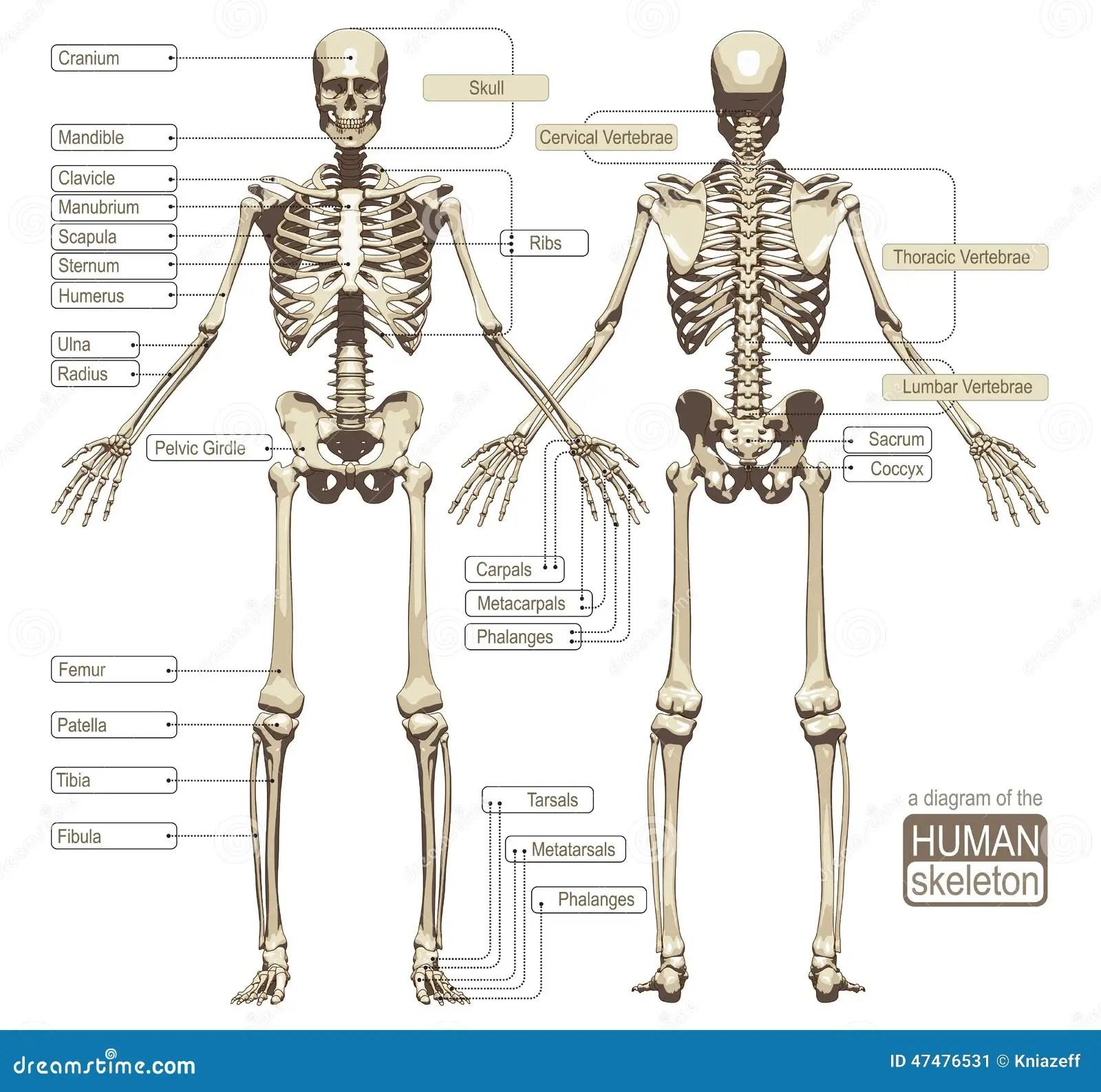 Ett Diagram Av Det Manskliga Skelettet Vektor