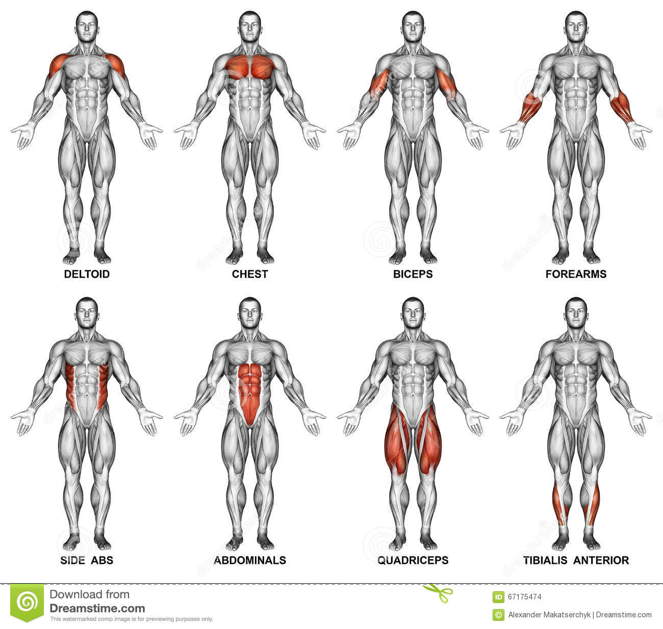 Exercising Front Projection Of The Human Body Stock Photo