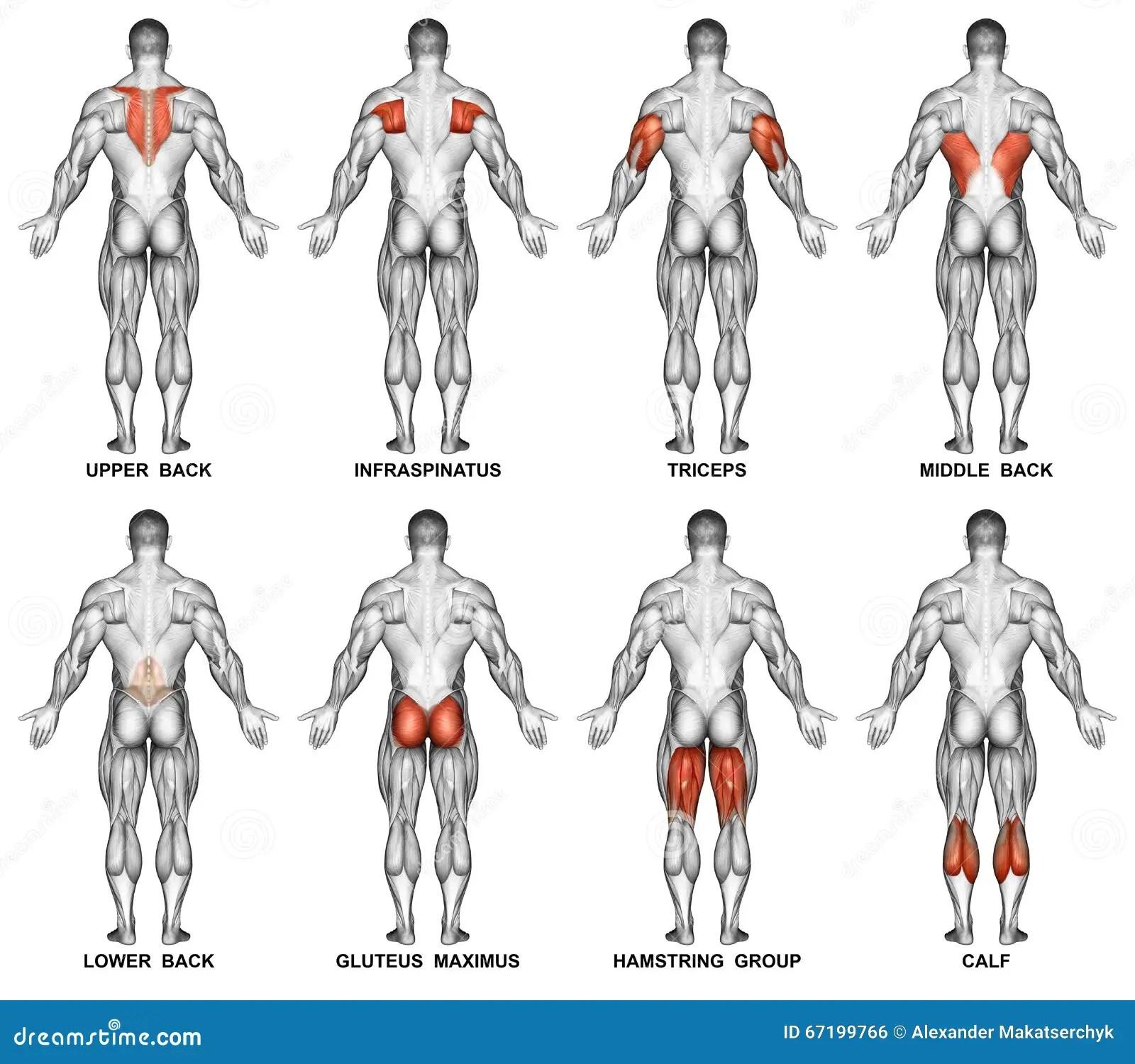 Exercitar Projecao Traseira Do Corpo Humano Foto De Stock