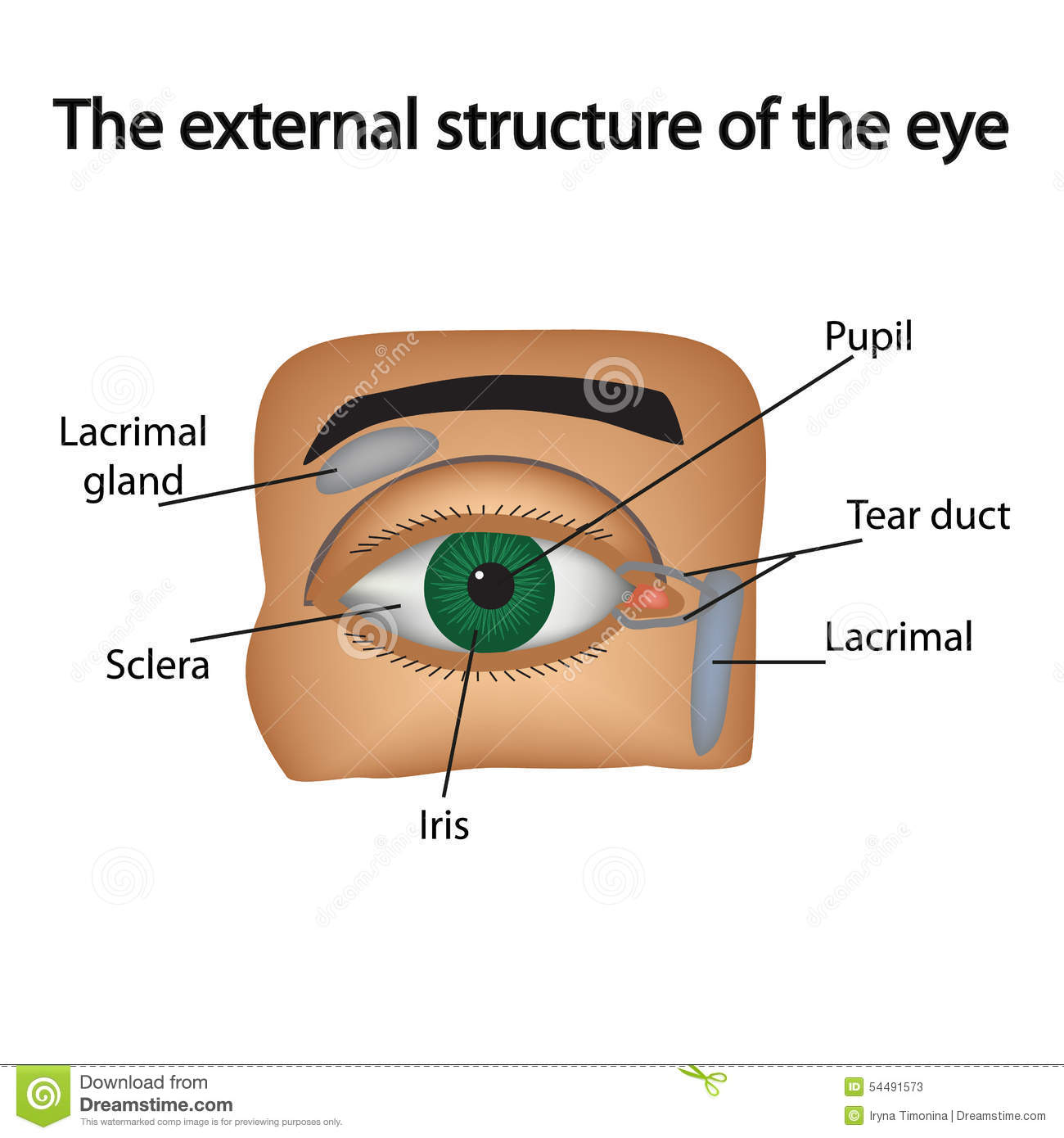 The External Structure Of The Eye Vector Stock Vector