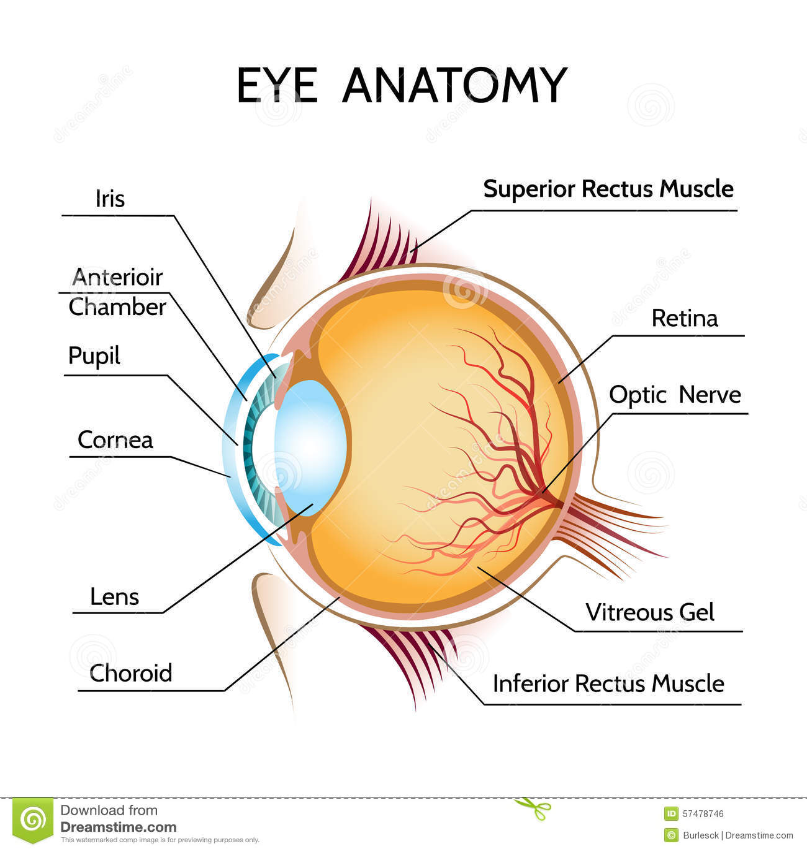 Eye Anatomy Stock Vector Illustration Of Graphic