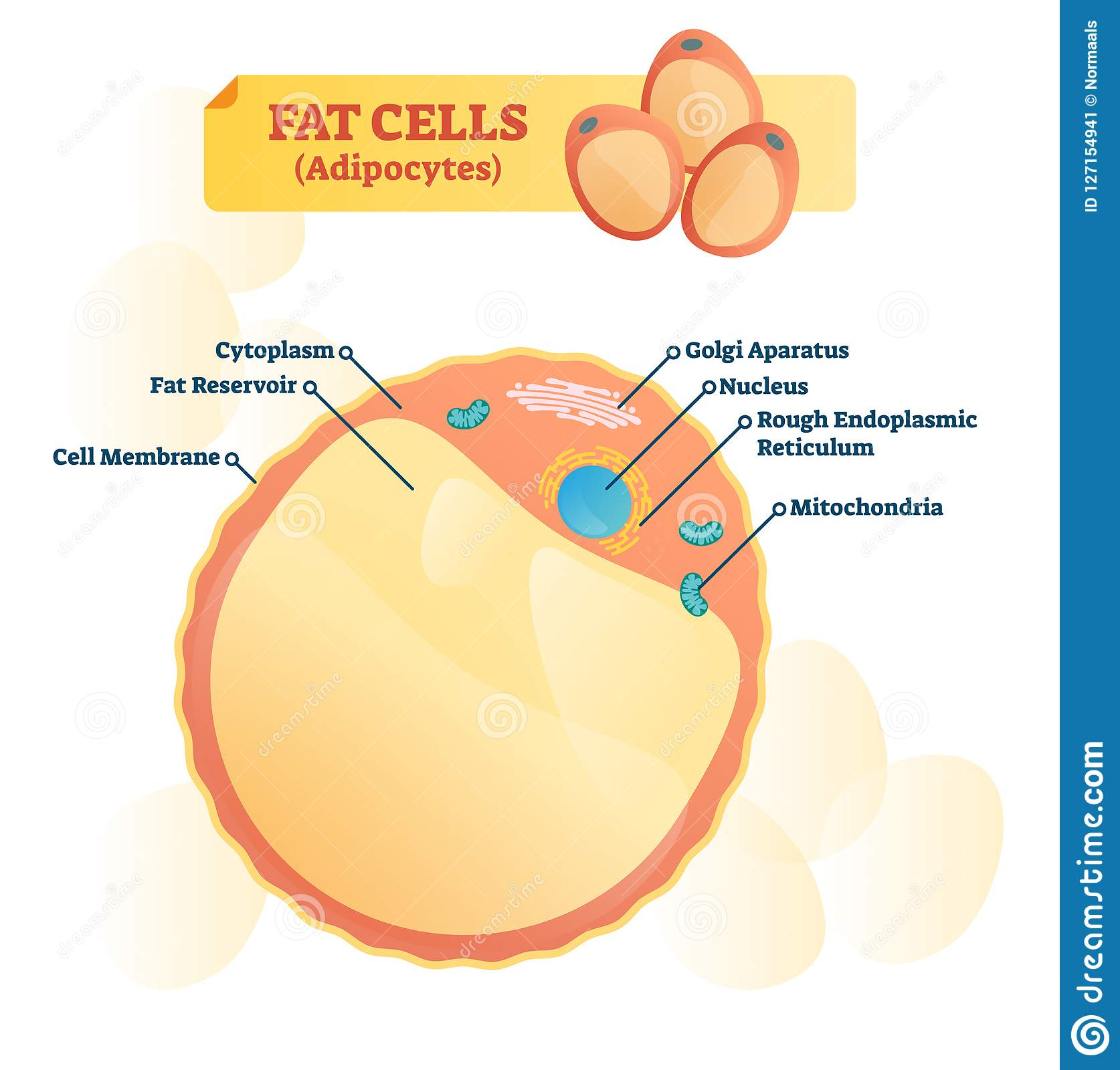 Image of: Plant Cell Fat Cell Structure Vector Illustration Labeled Anatomical Adipocyte Diagram Tropicalspaco Fat Cell Structure Vector Illustration Labeled Anatomical Adipocyte