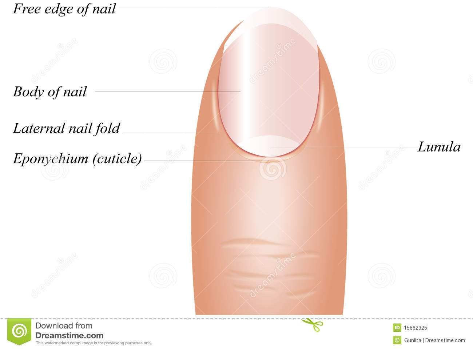 Finger Nail Anatomy Royalty Free Stock Photo