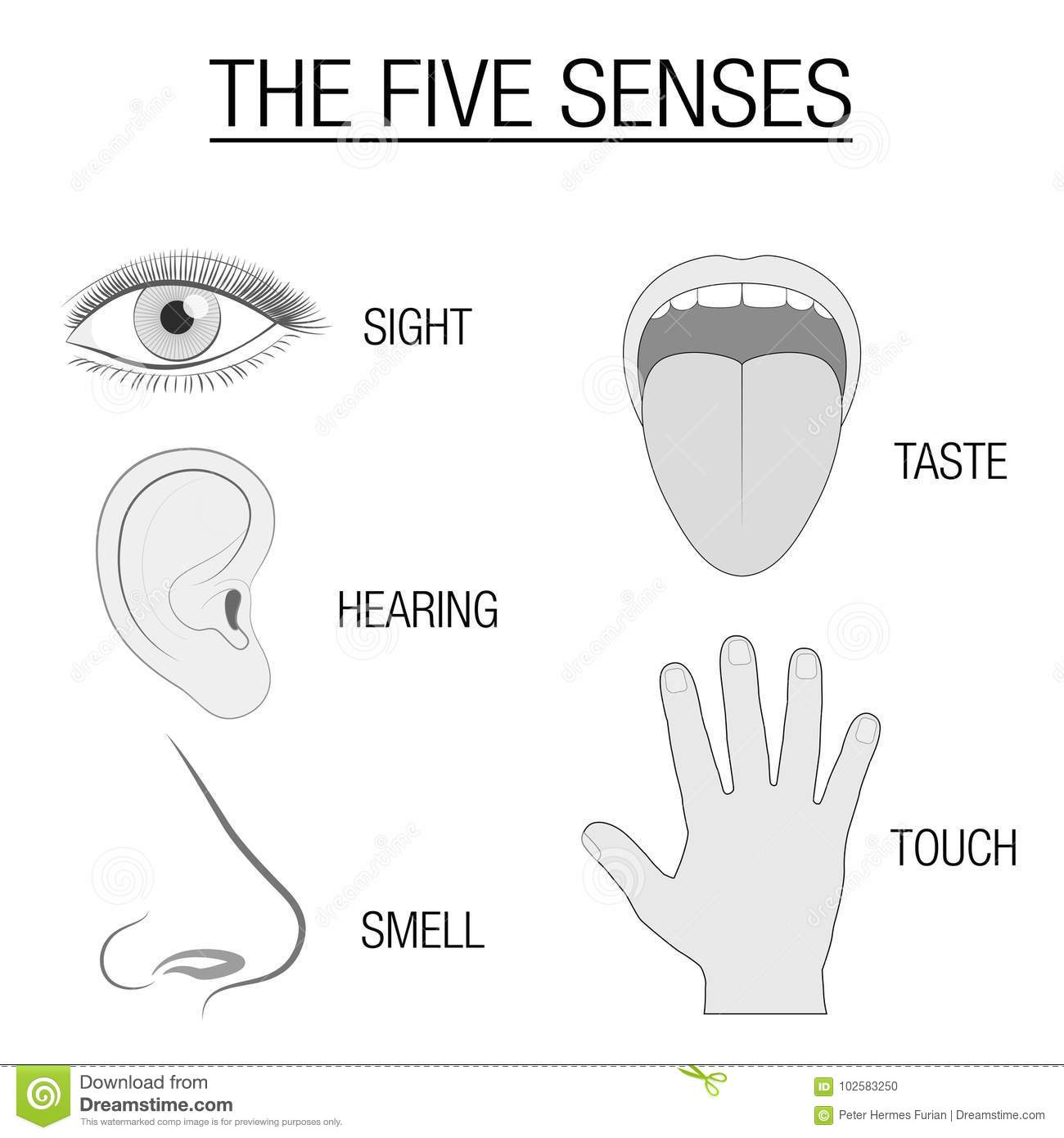 Special Senses Diagram Worksheet