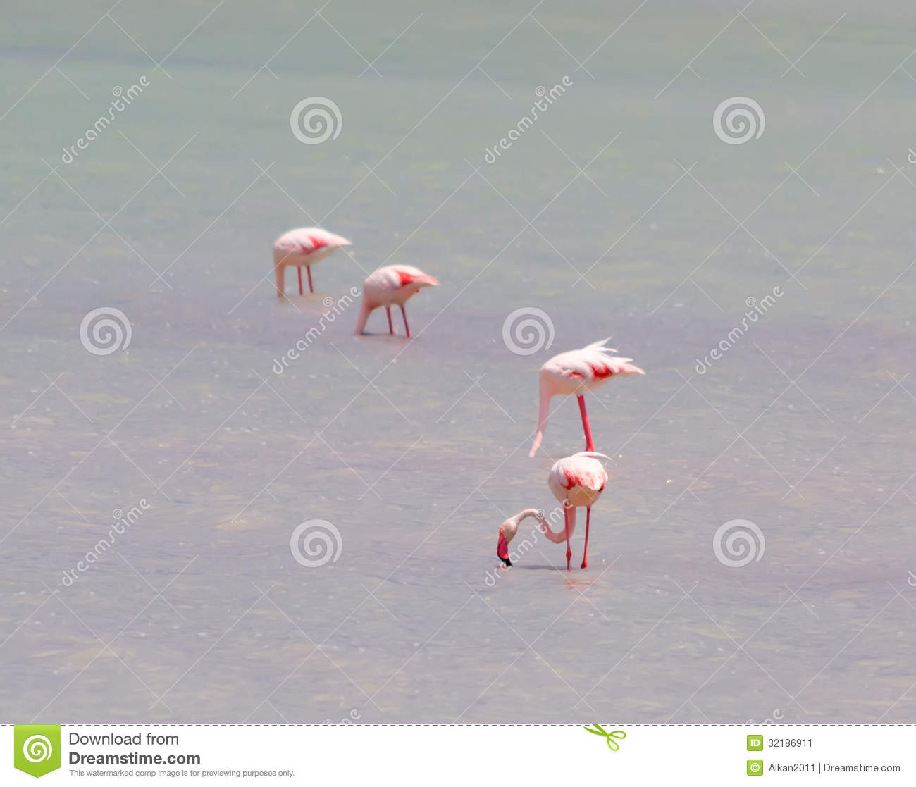 Flamingos Eating In The Pond Stock Image
