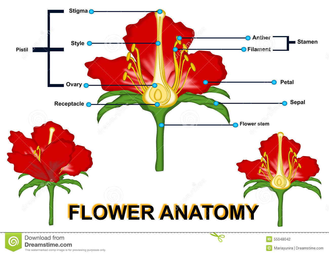 Parts Of Flower Isolated Stock Illustration Image Of