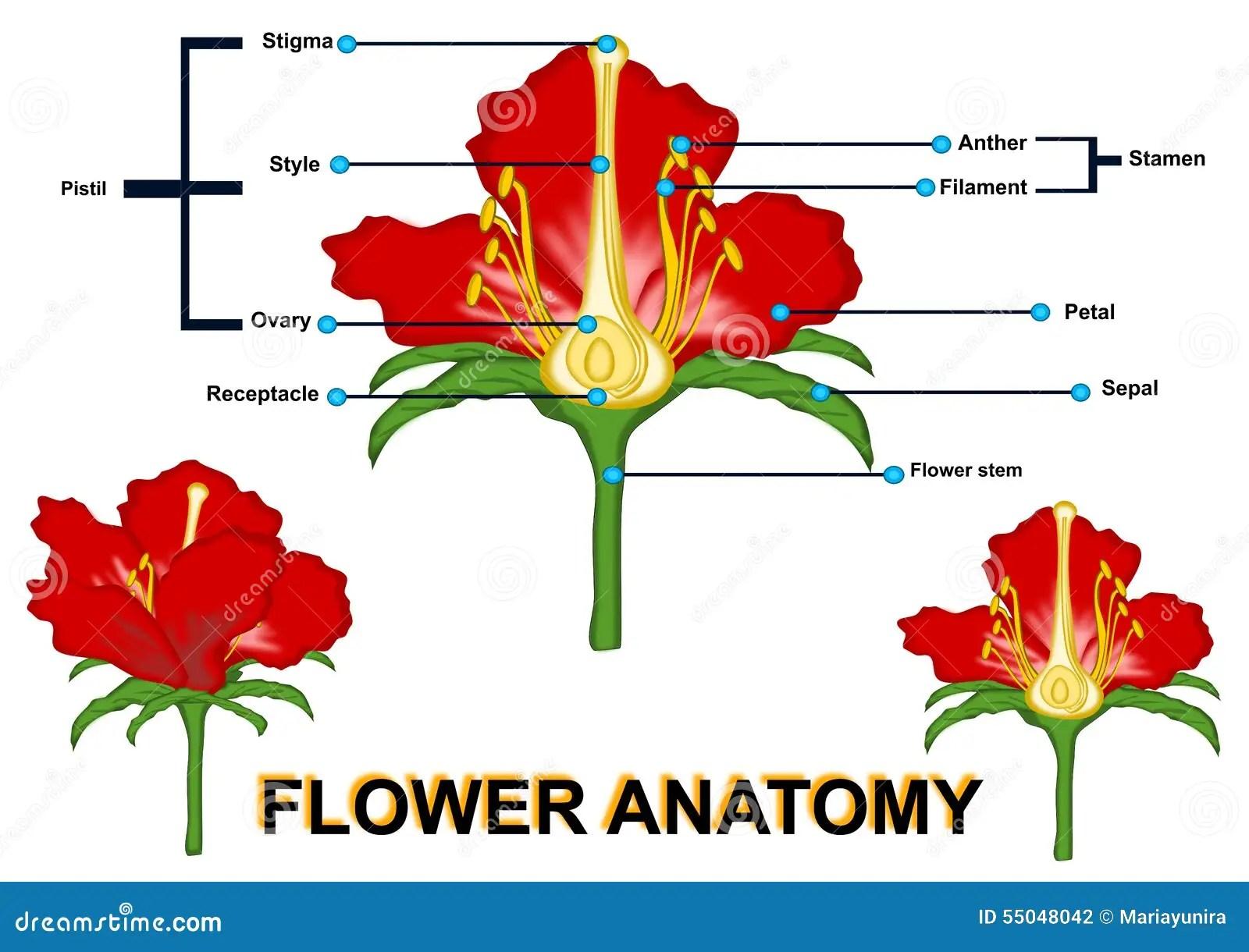 Parts Of Flower Isolated Stock Illustration Illustration
