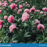 Flower Bed With Fluffy Pink Peony Flowers In Bloom Stock Image Image Of Blossom Peony 147917207