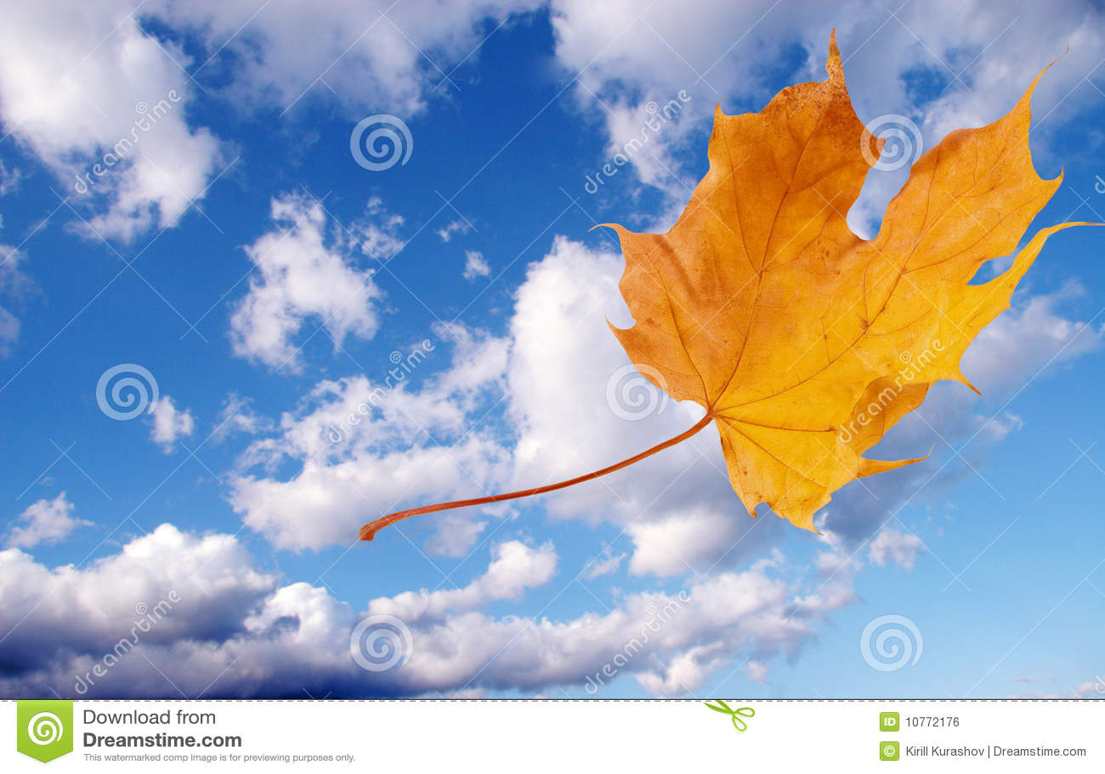 Flying Autumn Maple Leaf Stock Photo Image Of Nature 10772176