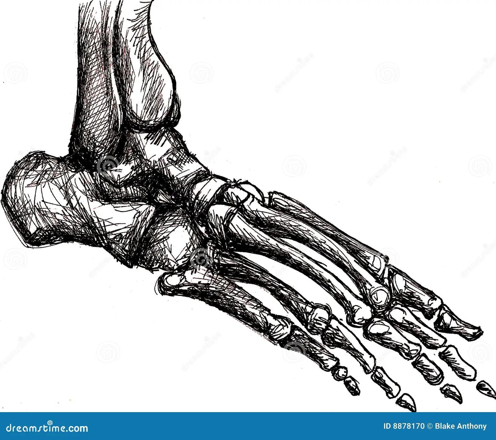 Foot Skeleton Anatomy Stock Photo