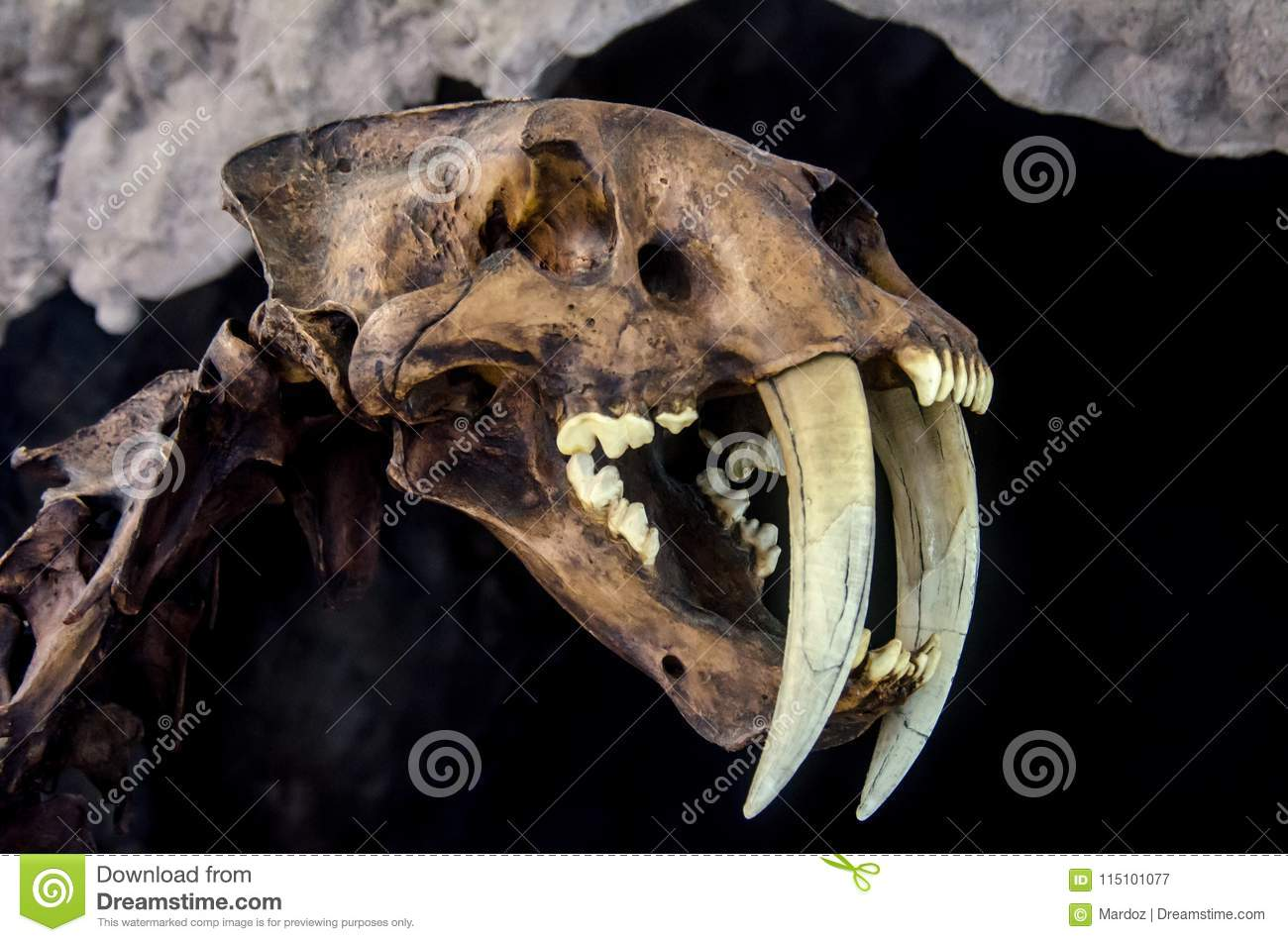 Saber Toothed Tiger Face Stock Photography