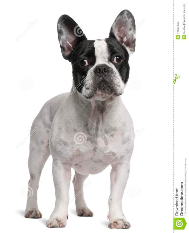 french bulldog, 2 years old, standing stock image - image of